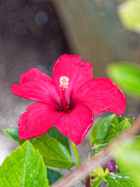 Hibiscus-rosa-sinensis-3.jpeg