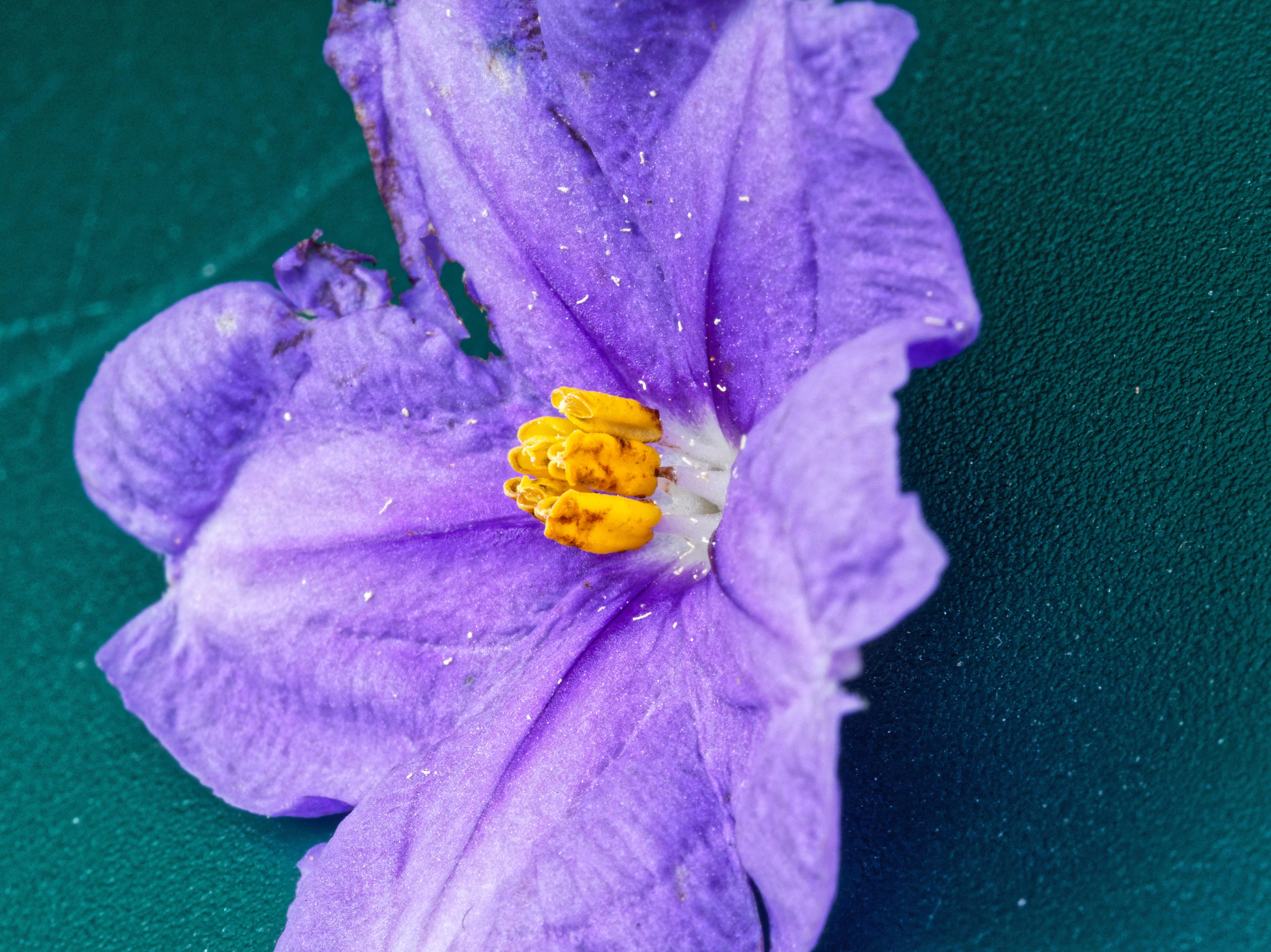 Solanum-laciniatum-18.jpeg