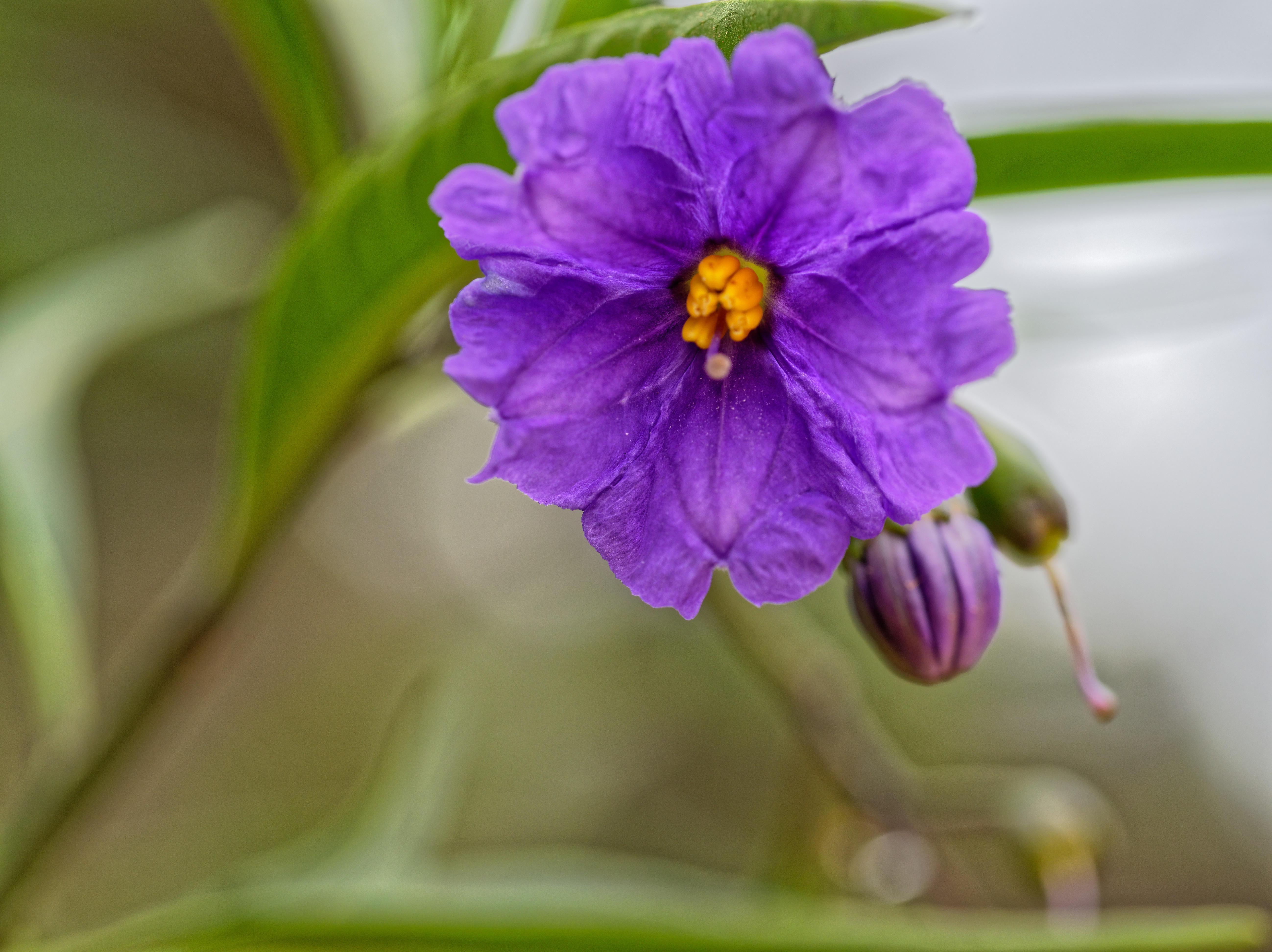 Solanum-laciniatum-2.jpeg