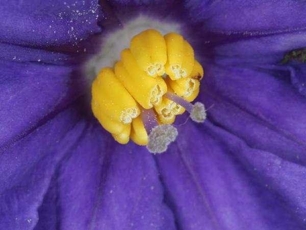 Solanum-laciniatum-ooC-2.jpeg