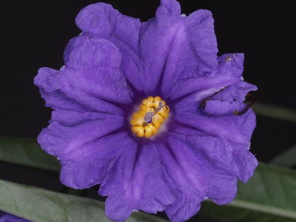 Solanum-laciniatum-ooC-3.jpeg