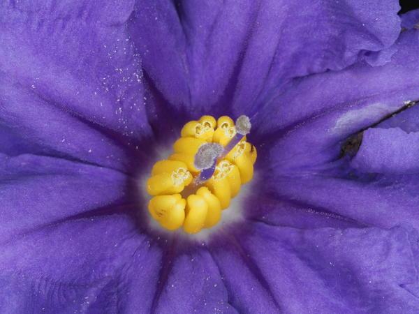 Solanum-laciniatum-ooC-4.jpeg