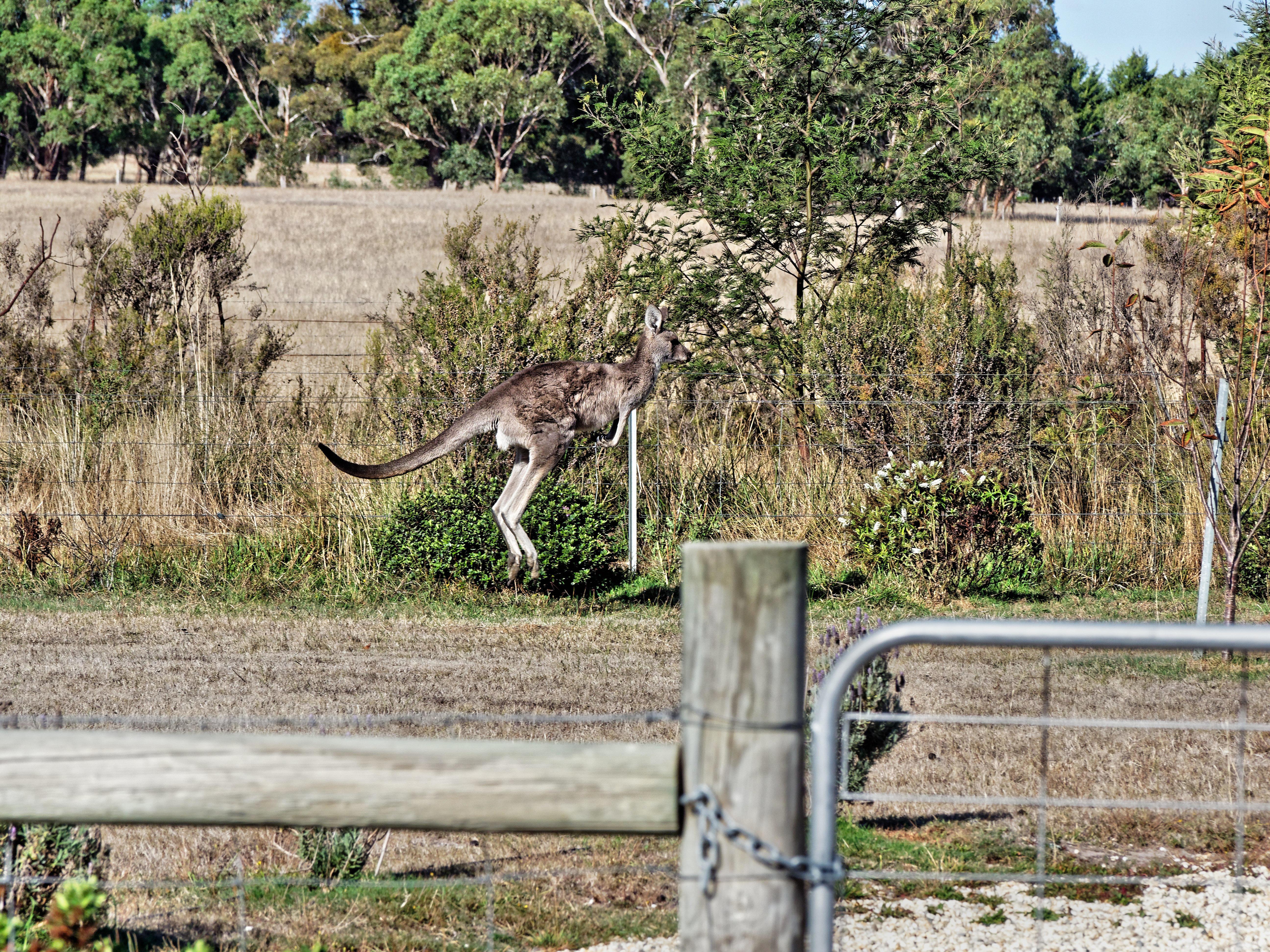 Kangaroo-11.jpeg