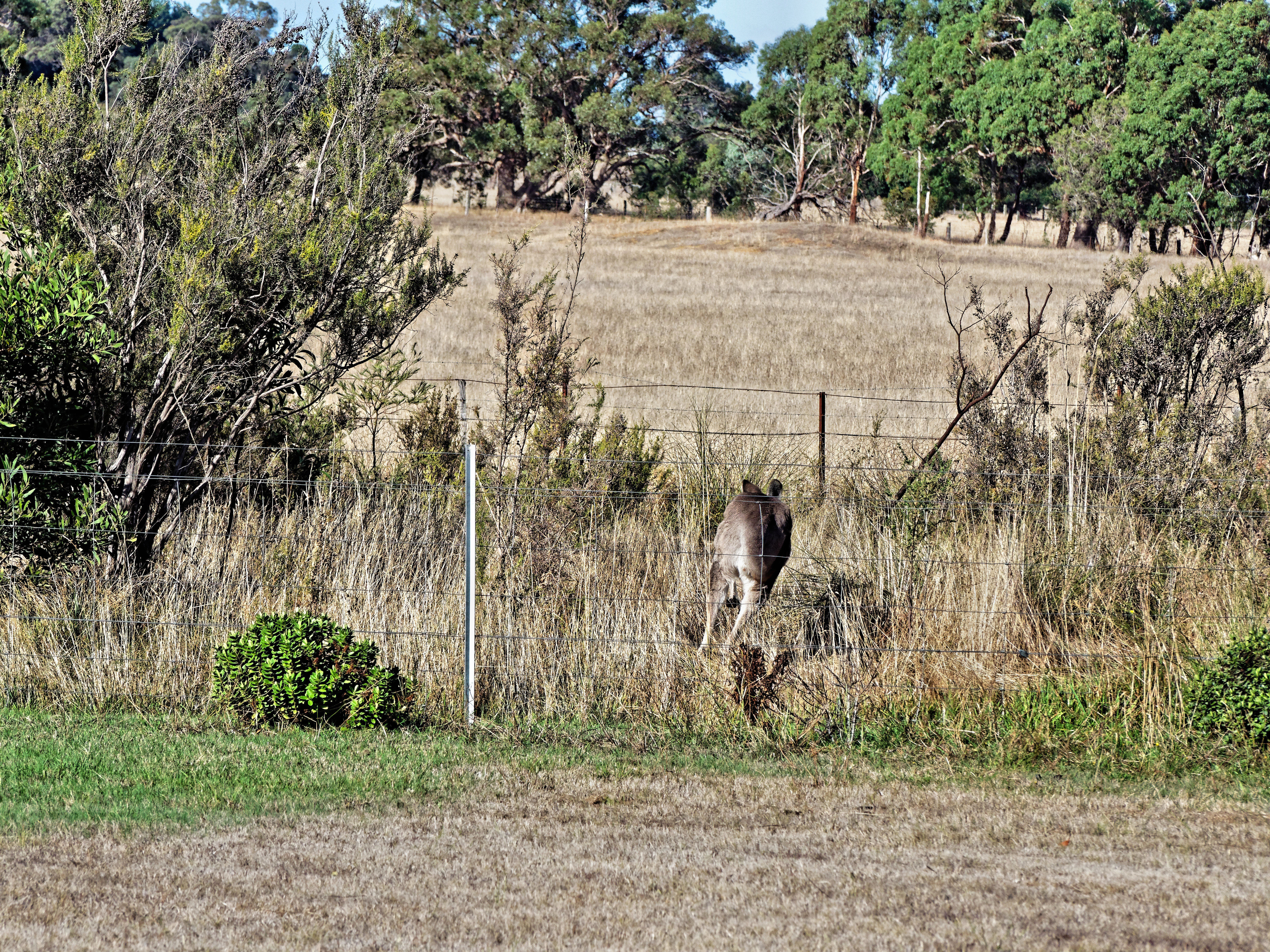 Kangaroo-17.jpeg