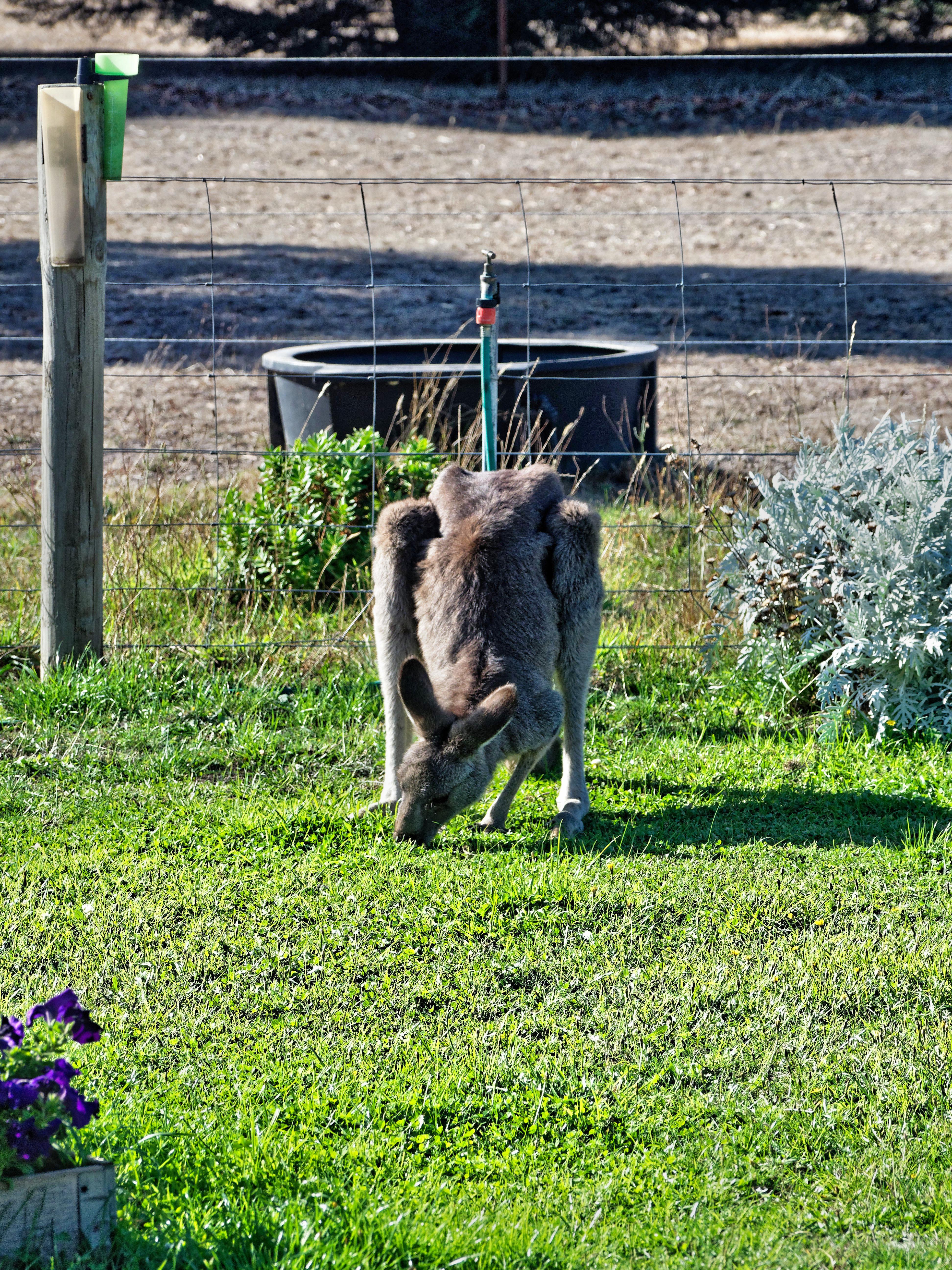 Kangaroo-4.jpeg