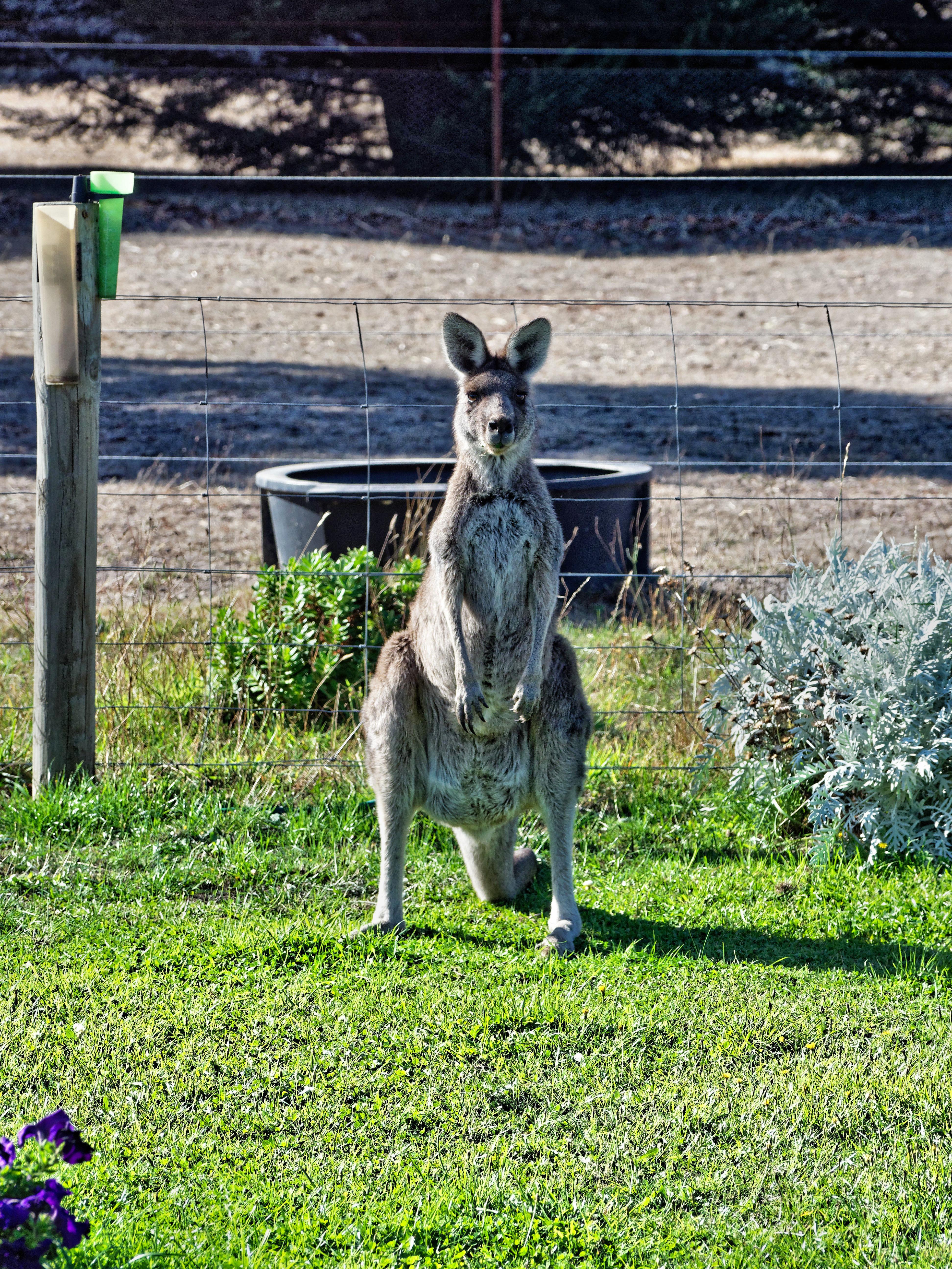 Kangaroo-6.jpeg