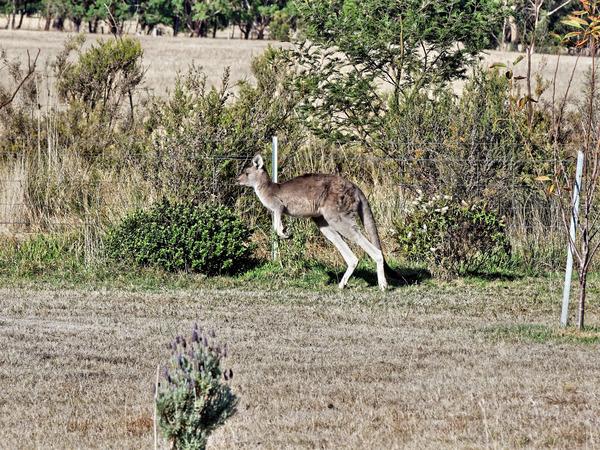 Kangaroo-14.jpeg