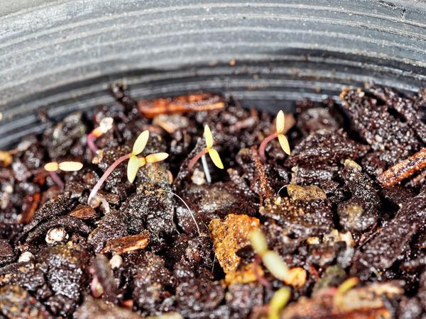 Epazote-seedlings-3.jpeg