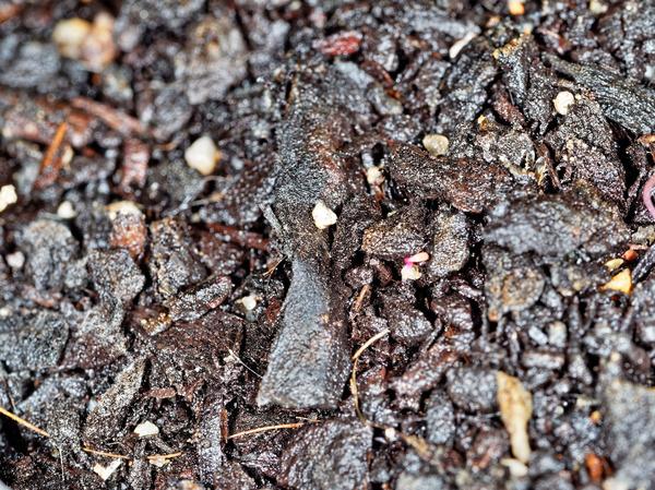 Epazote-seedlings-4.jpeg