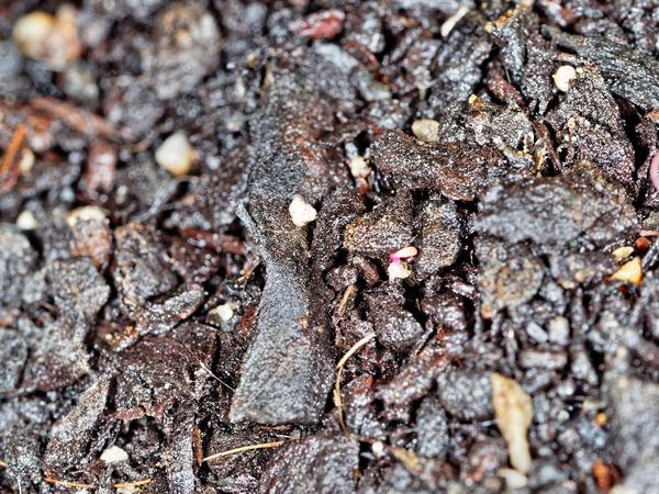 Epazote-seedlings-5.jpeg