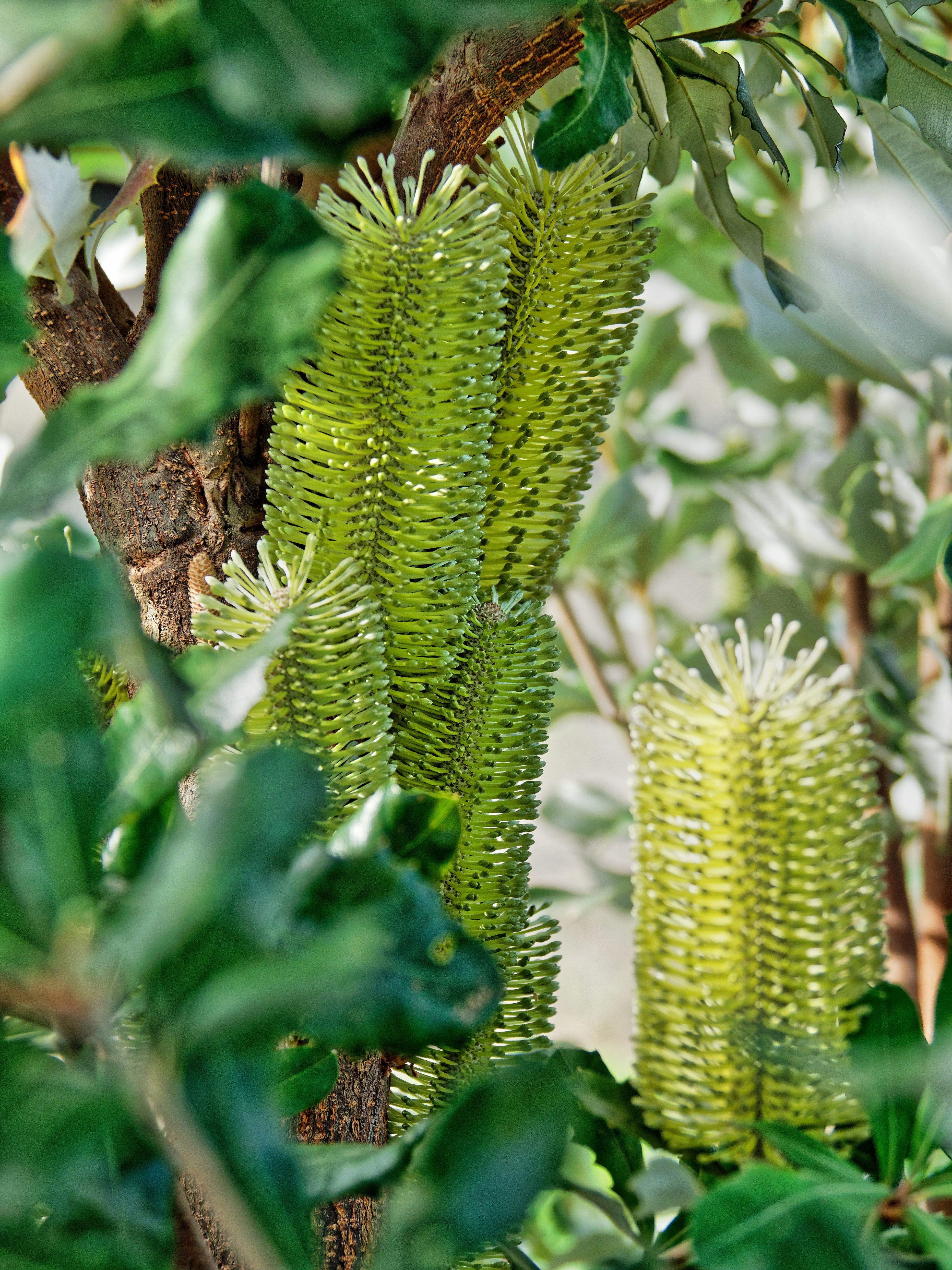 This should be Banksia-2.jpeg.  Is it missing?