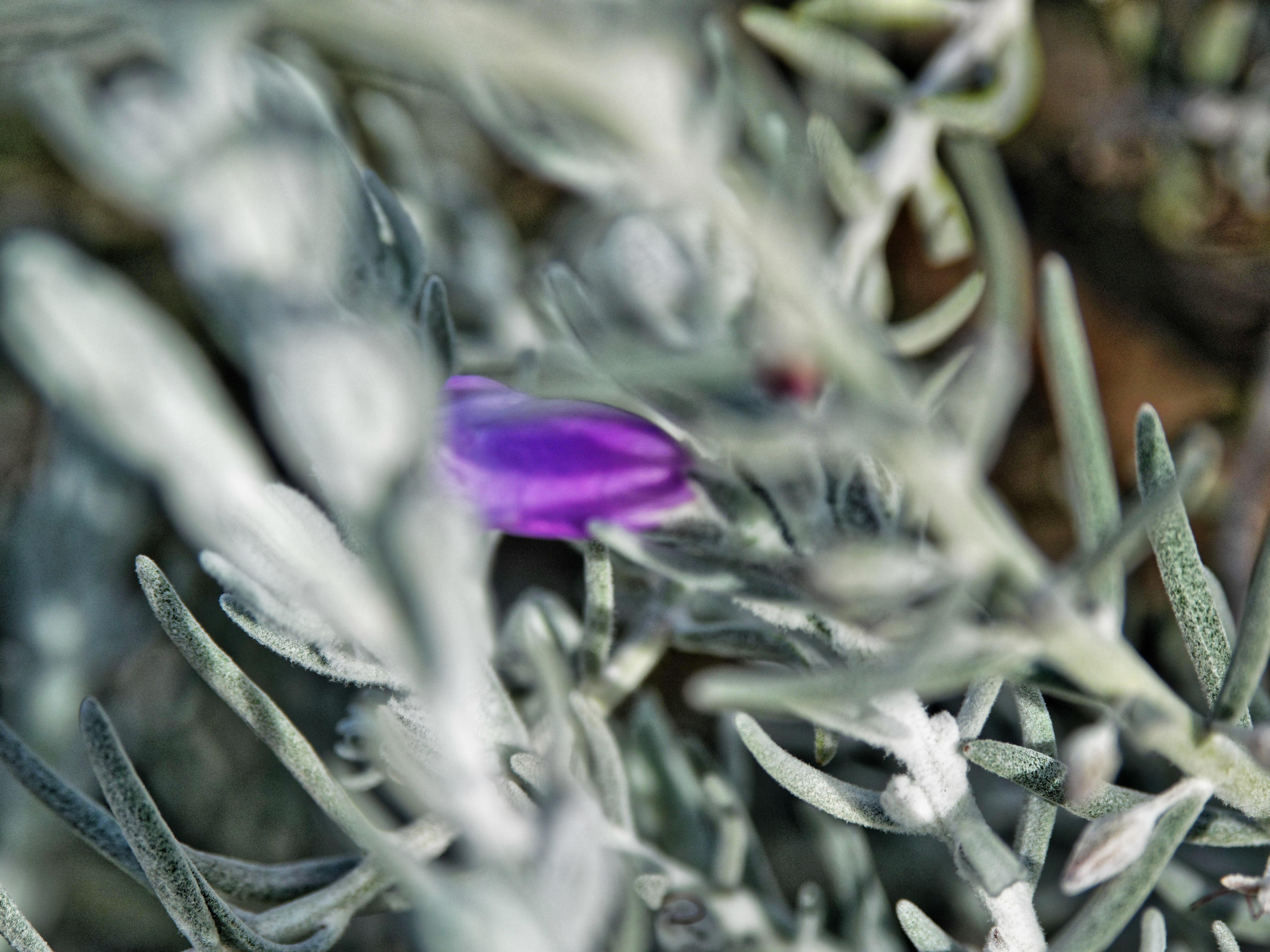 Eremophila-nivea-1.jpeg