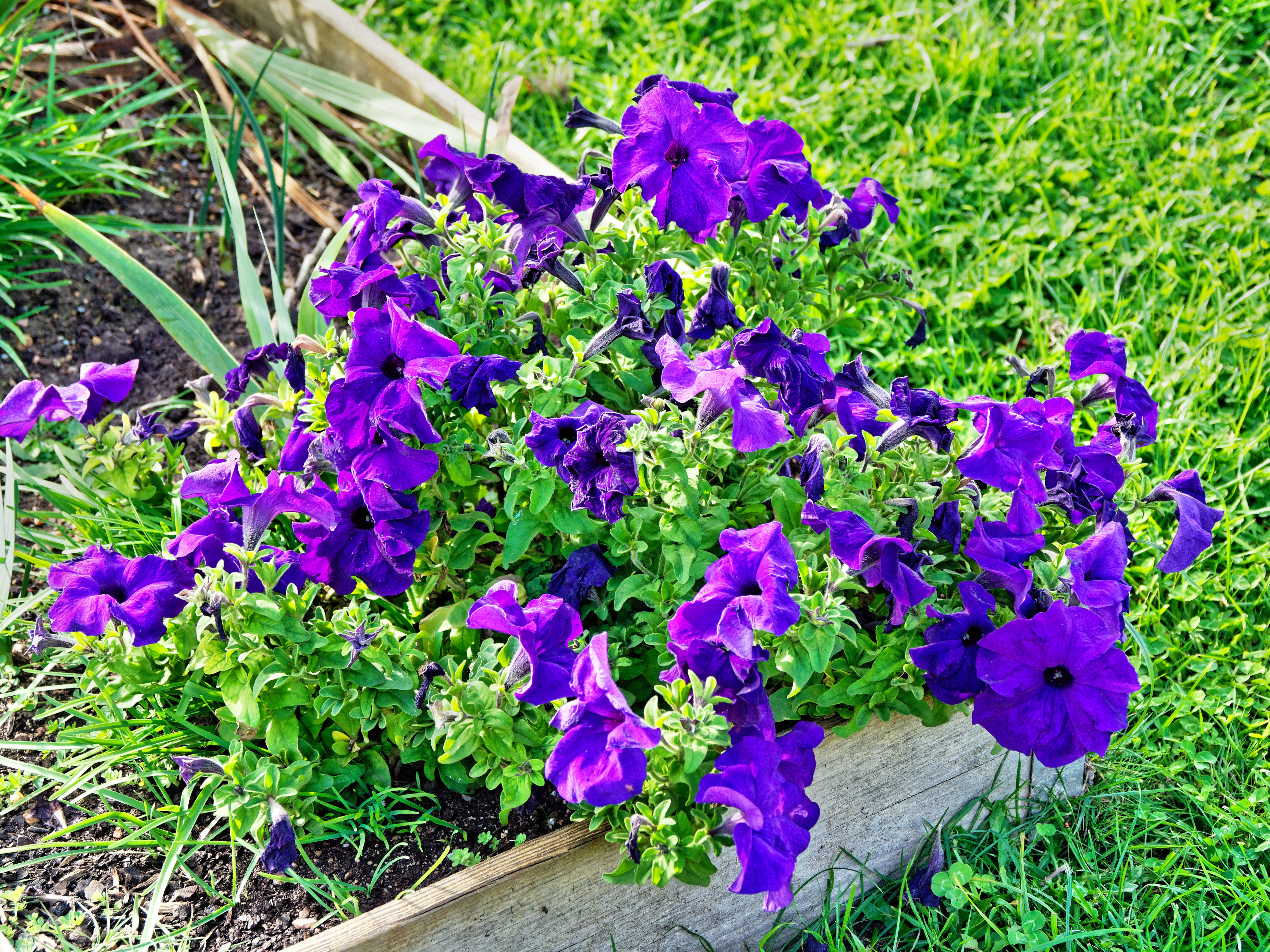 This should be Petunia-1.jpeg.  Is it missing?