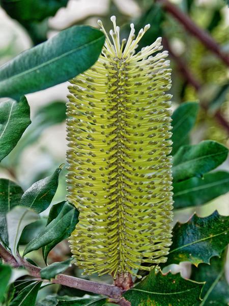 Banksia-3.jpeg