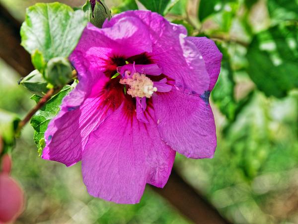 Hibiscus-syriacus-1.jpeg
