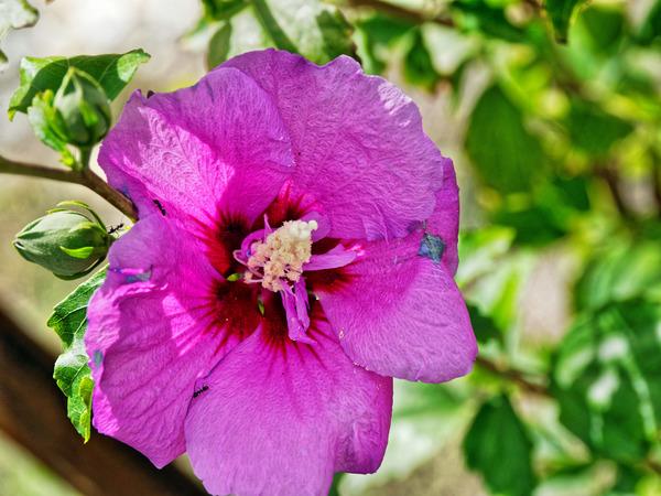 Hibiscus-syriacus-2.jpeg