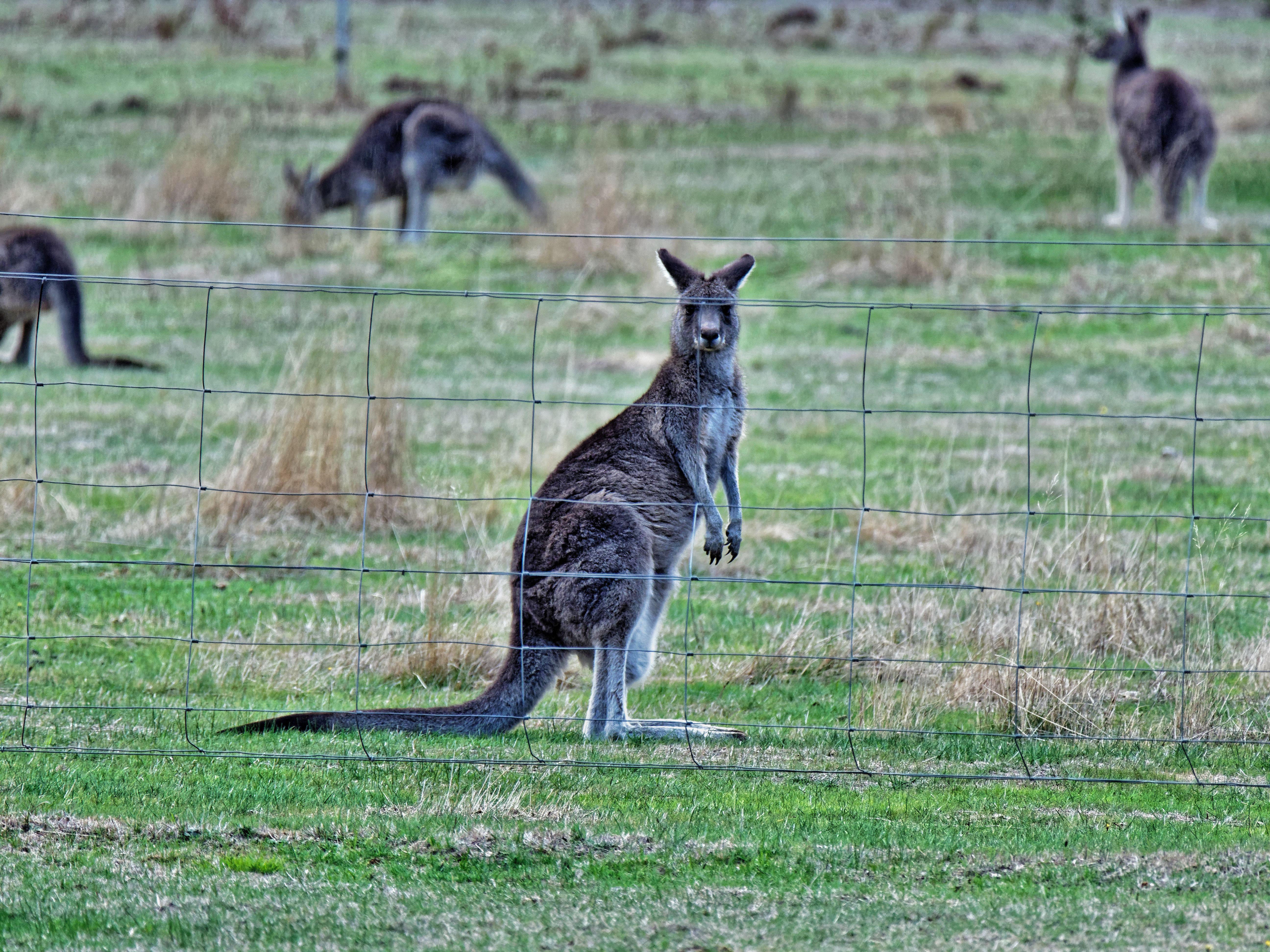 This should be Kangaroos-3.jpeg.  Is it missing?