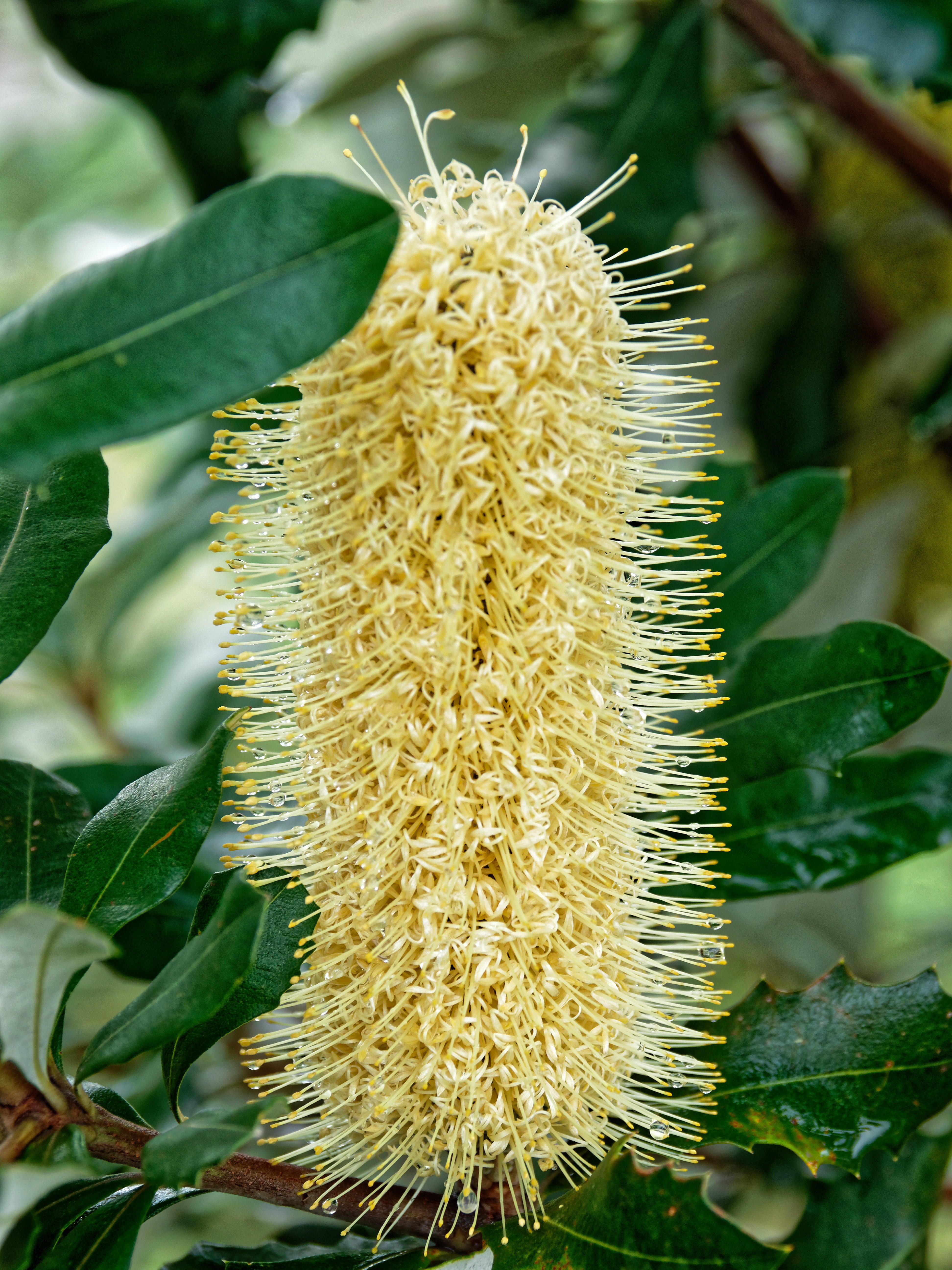 This should be Banksia-integrifolia-2.jpeg.  Is it missing?