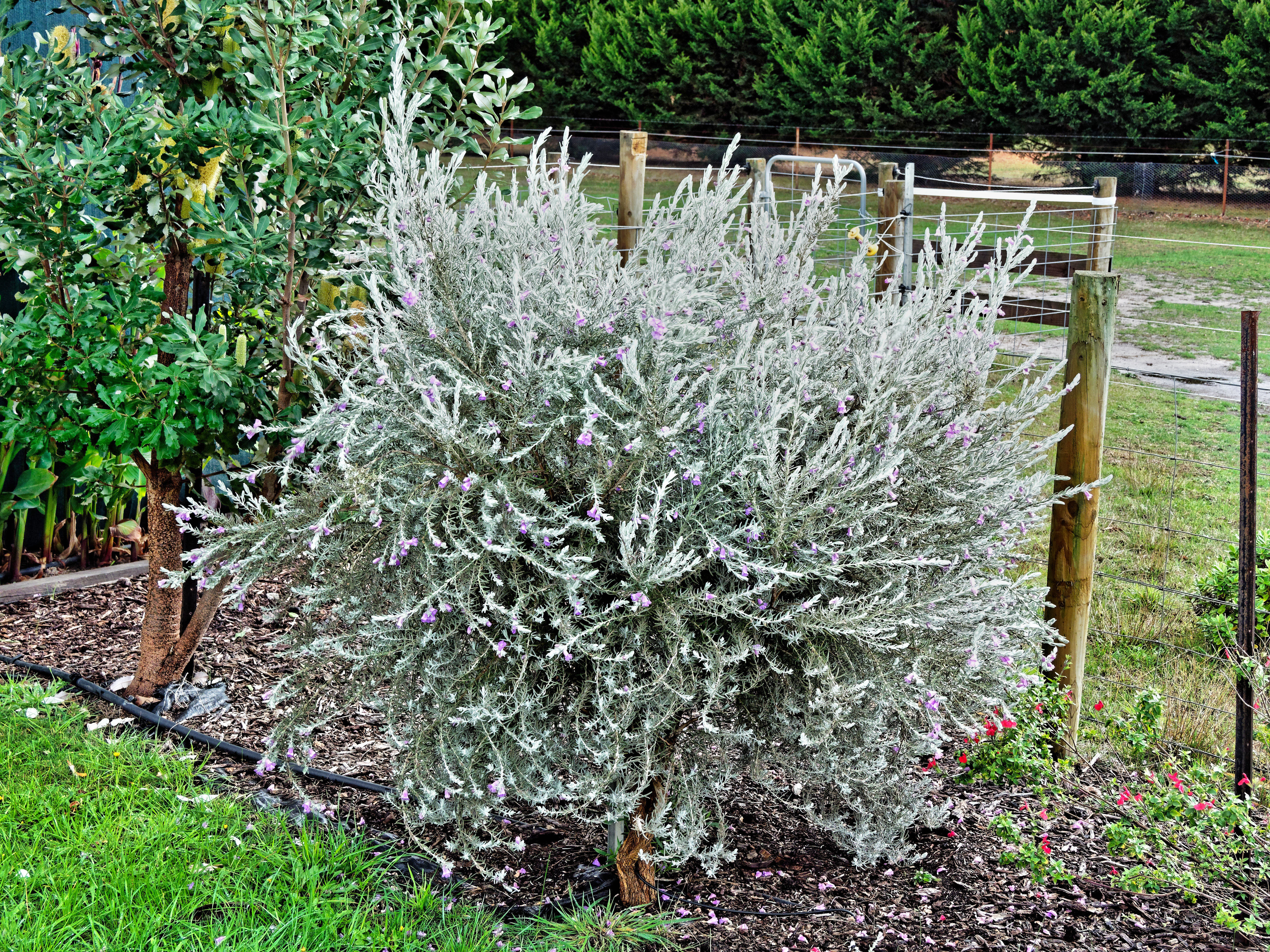 This should be Eremophila-nivea.jpeg.  Is it missing?