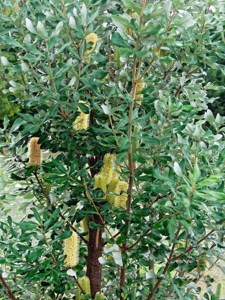 Banksia-integrifolia-1.jpeg