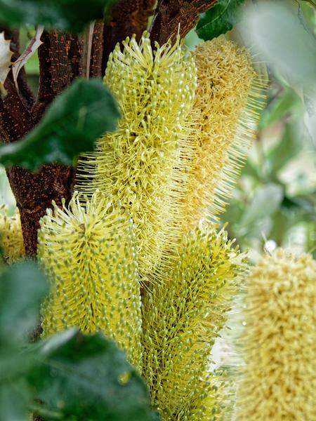 Banksia-integrifolia-3.jpeg