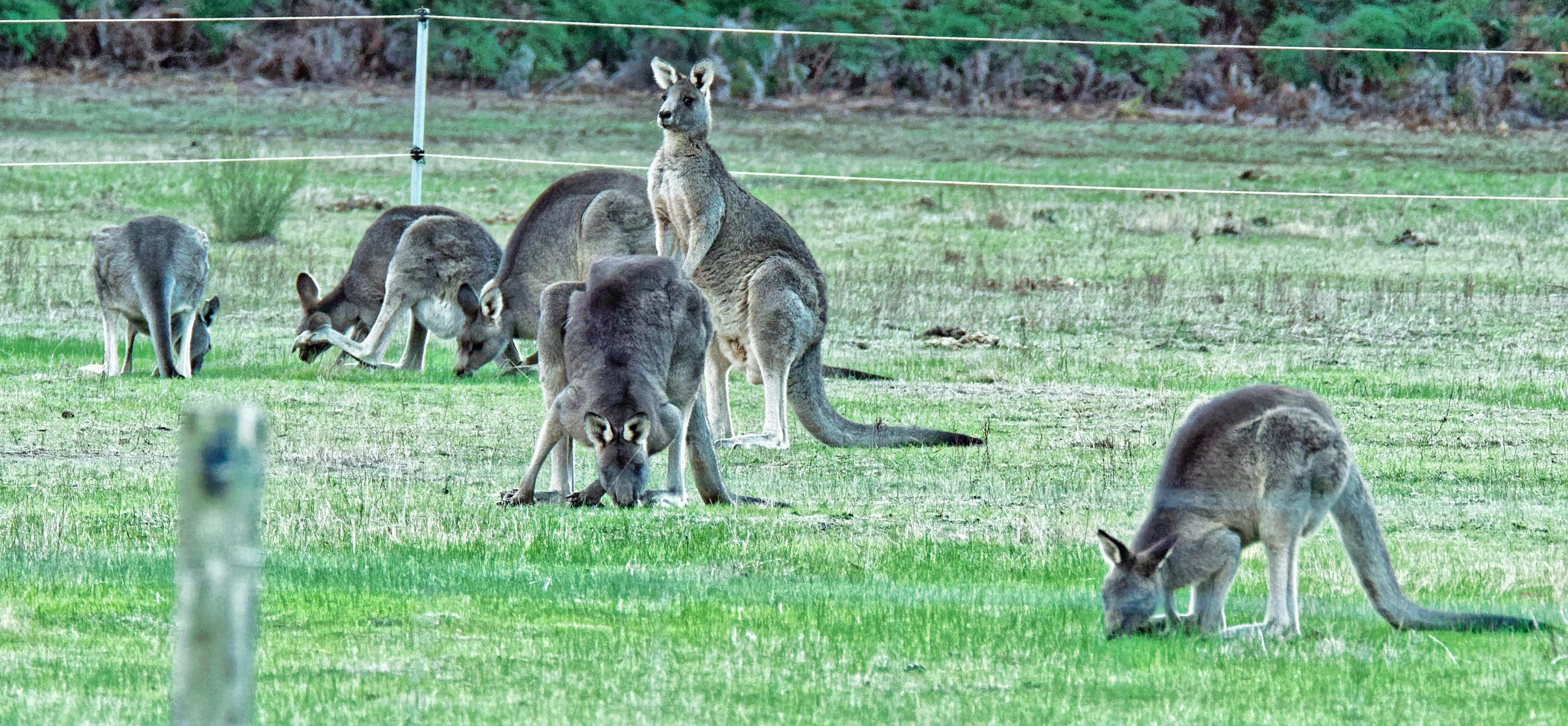 This should be Kangaroos-4-detail.jpeg.  Is it missing?