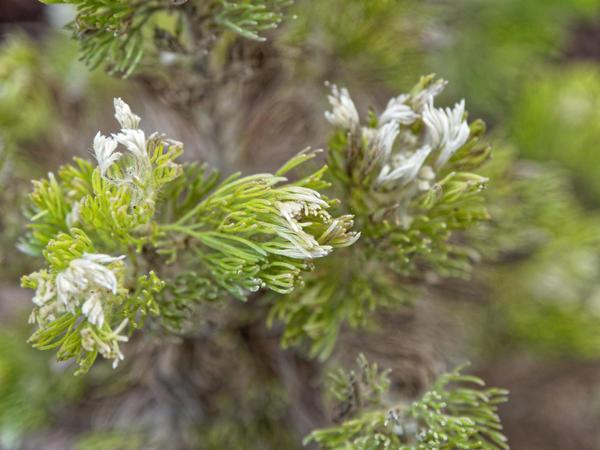Adenanthos-sericeus-2.jpeg