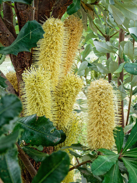 Banksia-integrifolia-2.jpeg