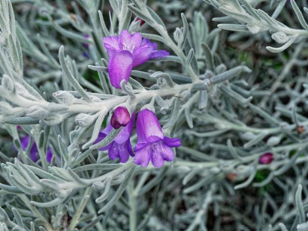 Eremophila-nivea-2.jpeg
