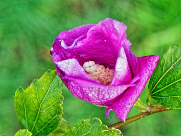 Hibiscus-syriacus-4.jpeg
