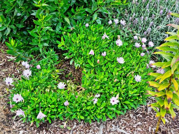 Osteospermum.jpeg