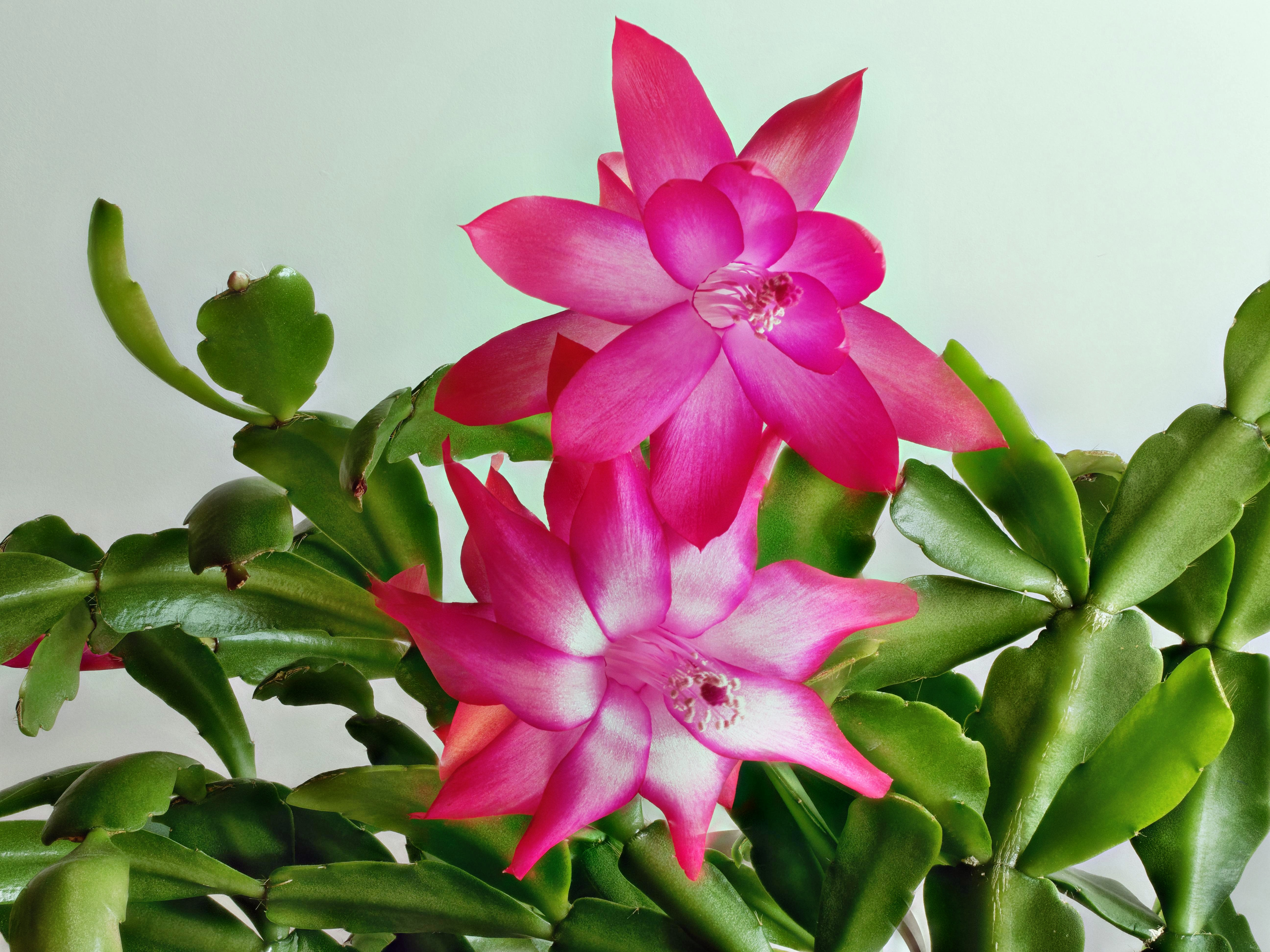 This should be Schlumbergera-1-PMax.jpeg.  Is it missing?
