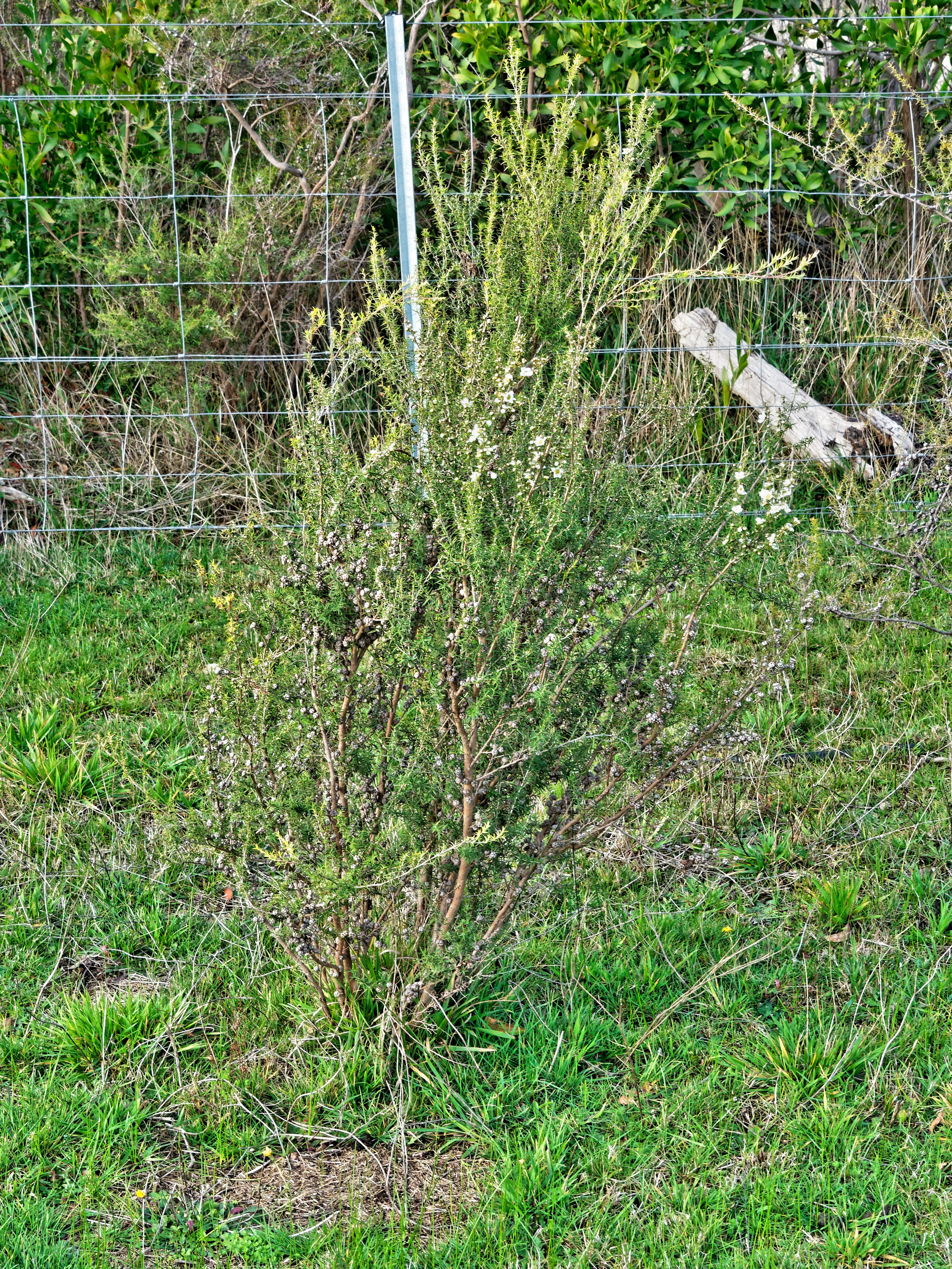 Leptospermum-2.jpeg