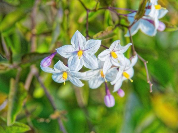 Solanum-1.jpeg