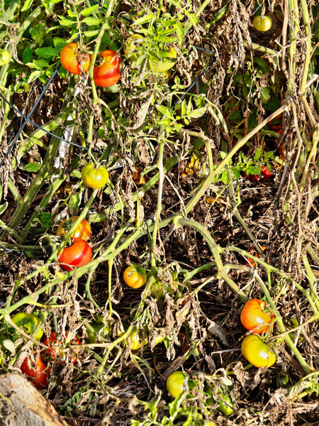 Tomatoes-1.jpeg