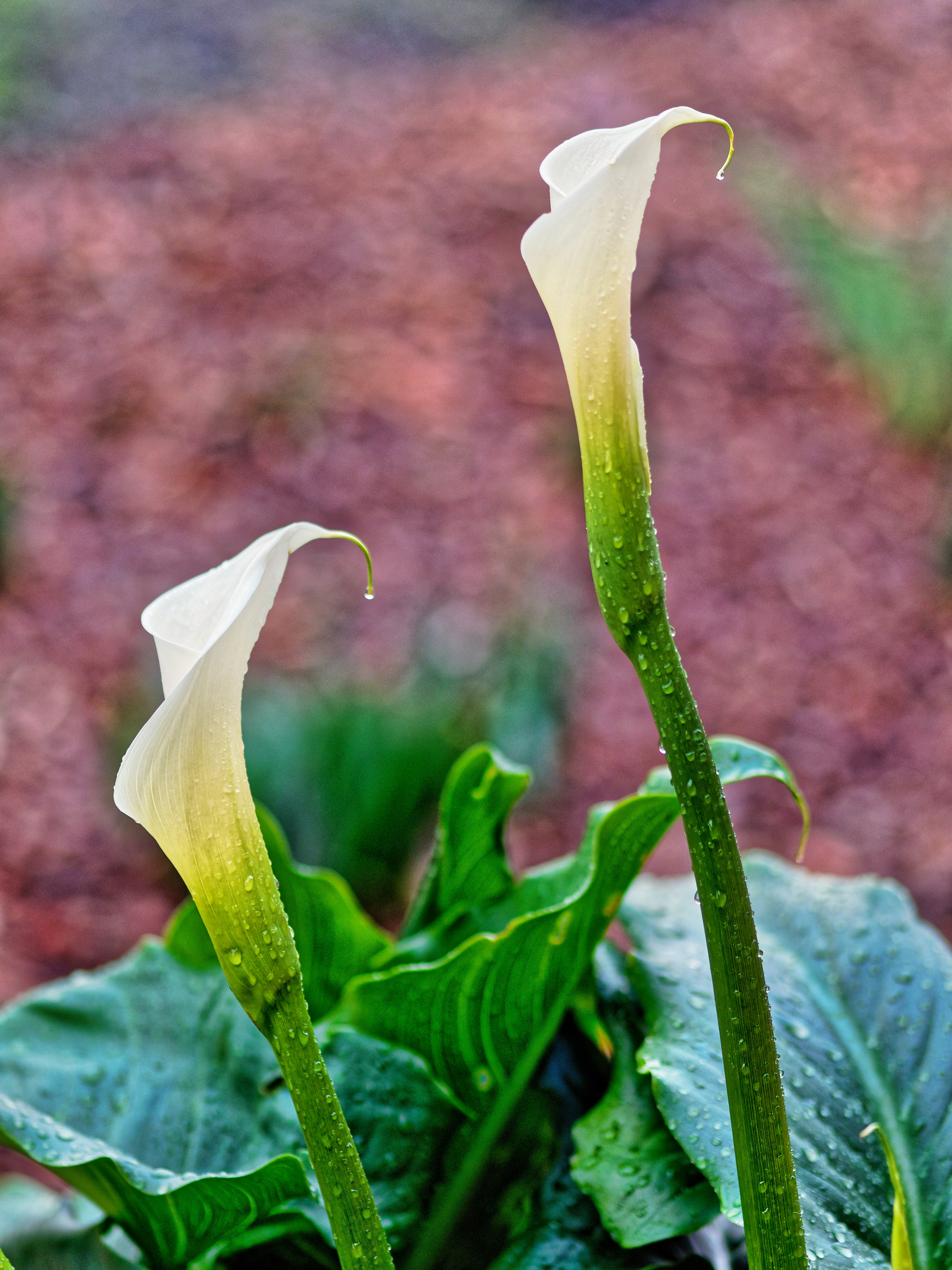 This should be Arum-lily-buds-1.jpeg.  Is it missing?
