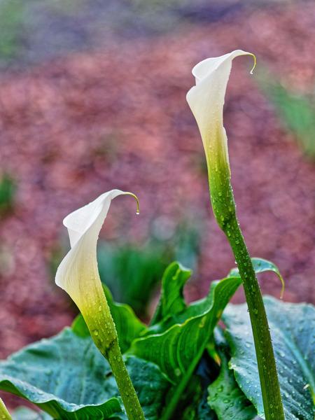 Arum-lily-buds-2.jpeg