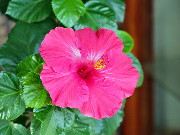 Hibiscus-flower-1.jpeg