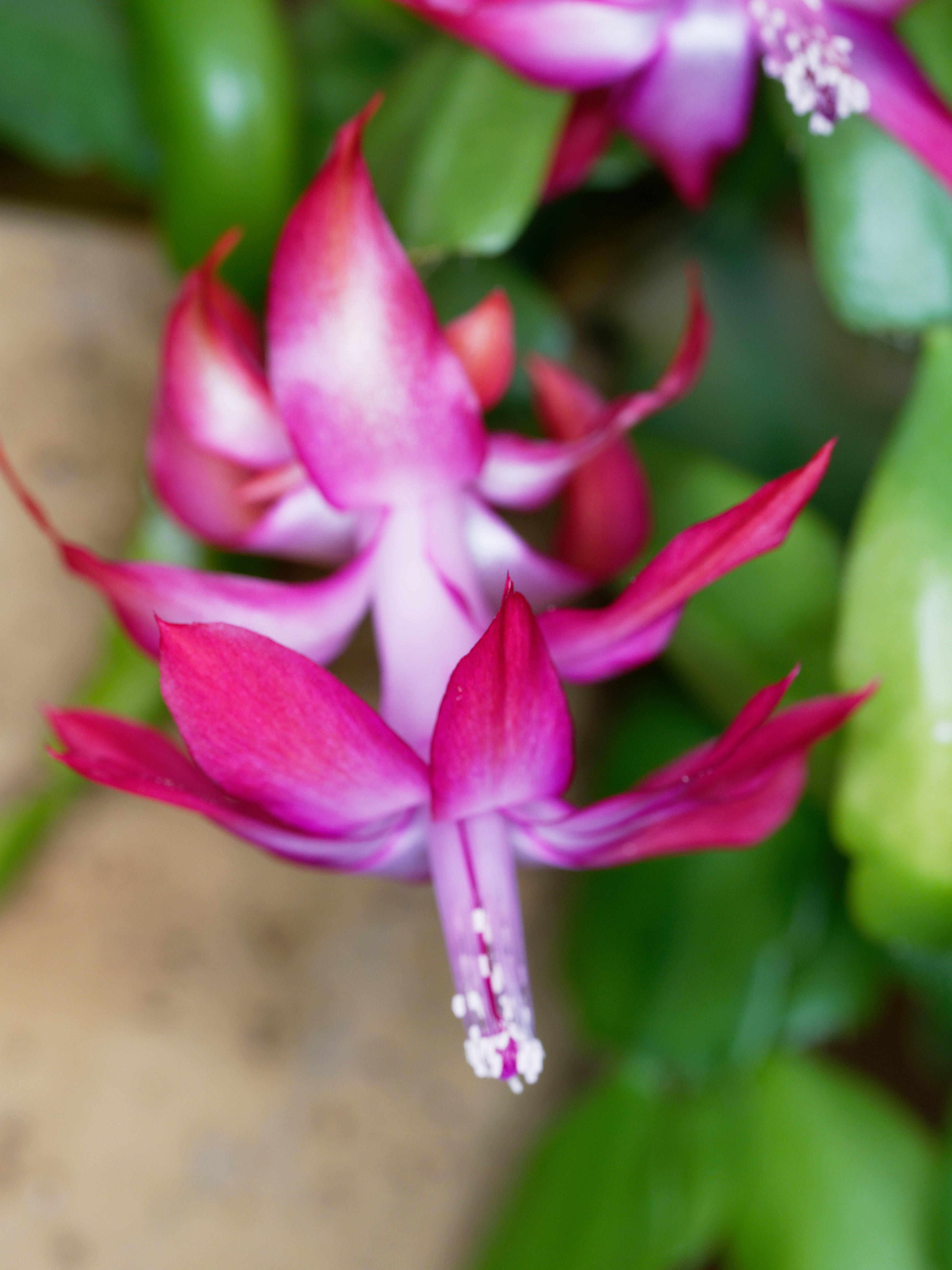 This should be Schlumbergera-1.jpeg.  Is it missing?