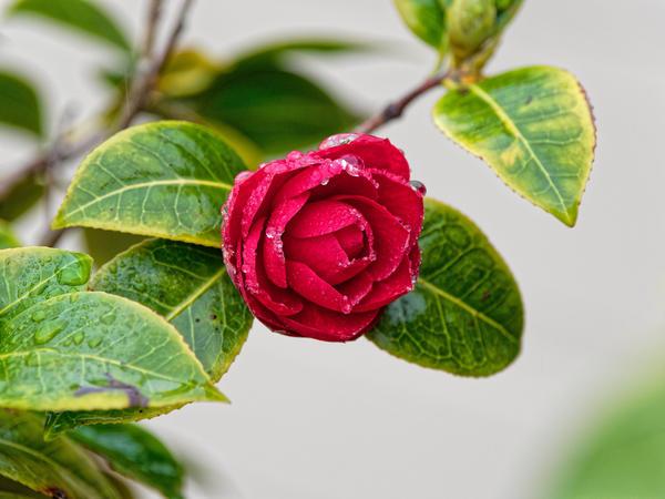 Camellia-japonica-1.jpeg
