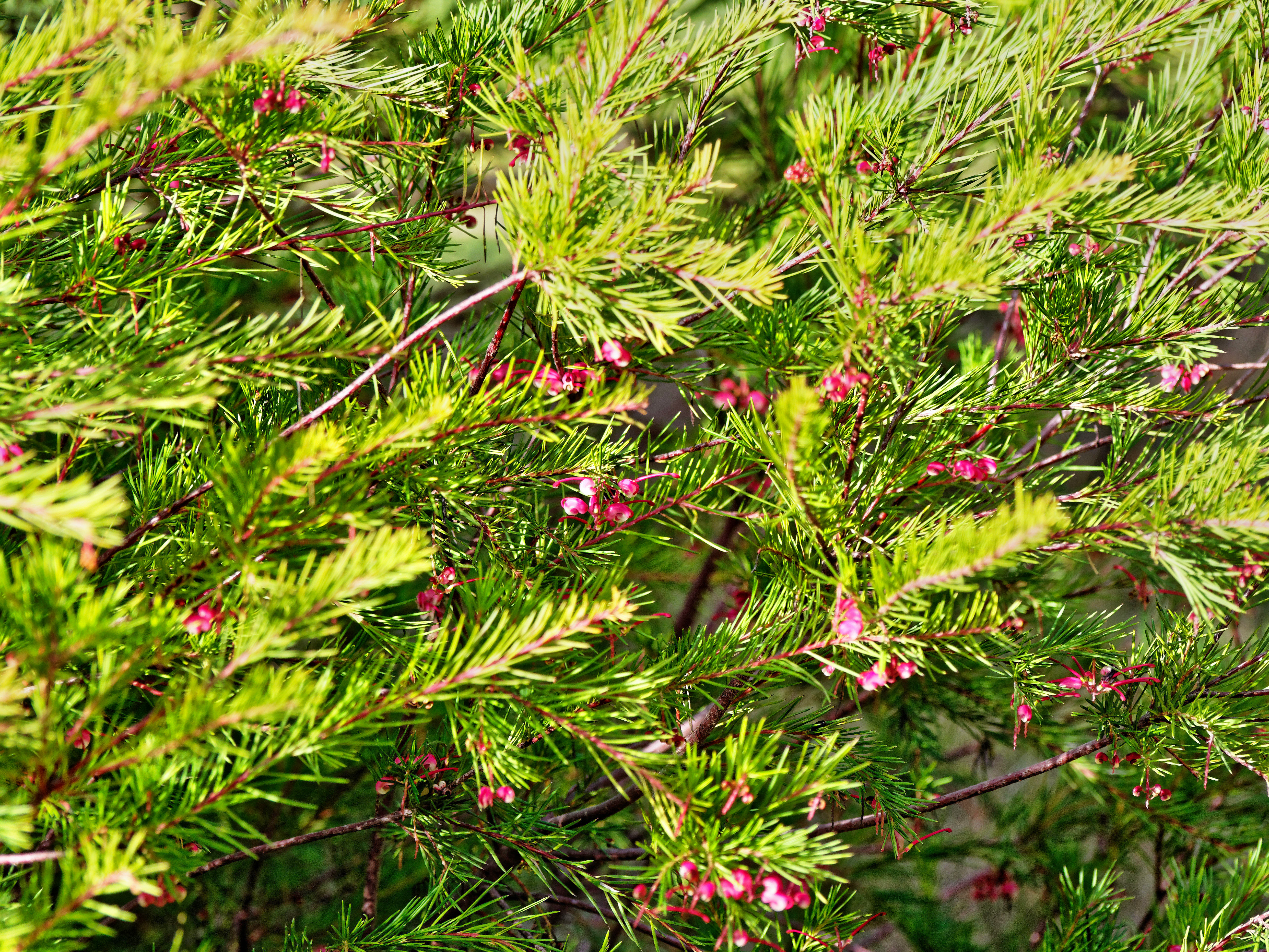 Grevillea-rosmarinifolia.jpeg