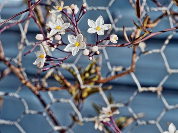 Solanum-3.jpeg