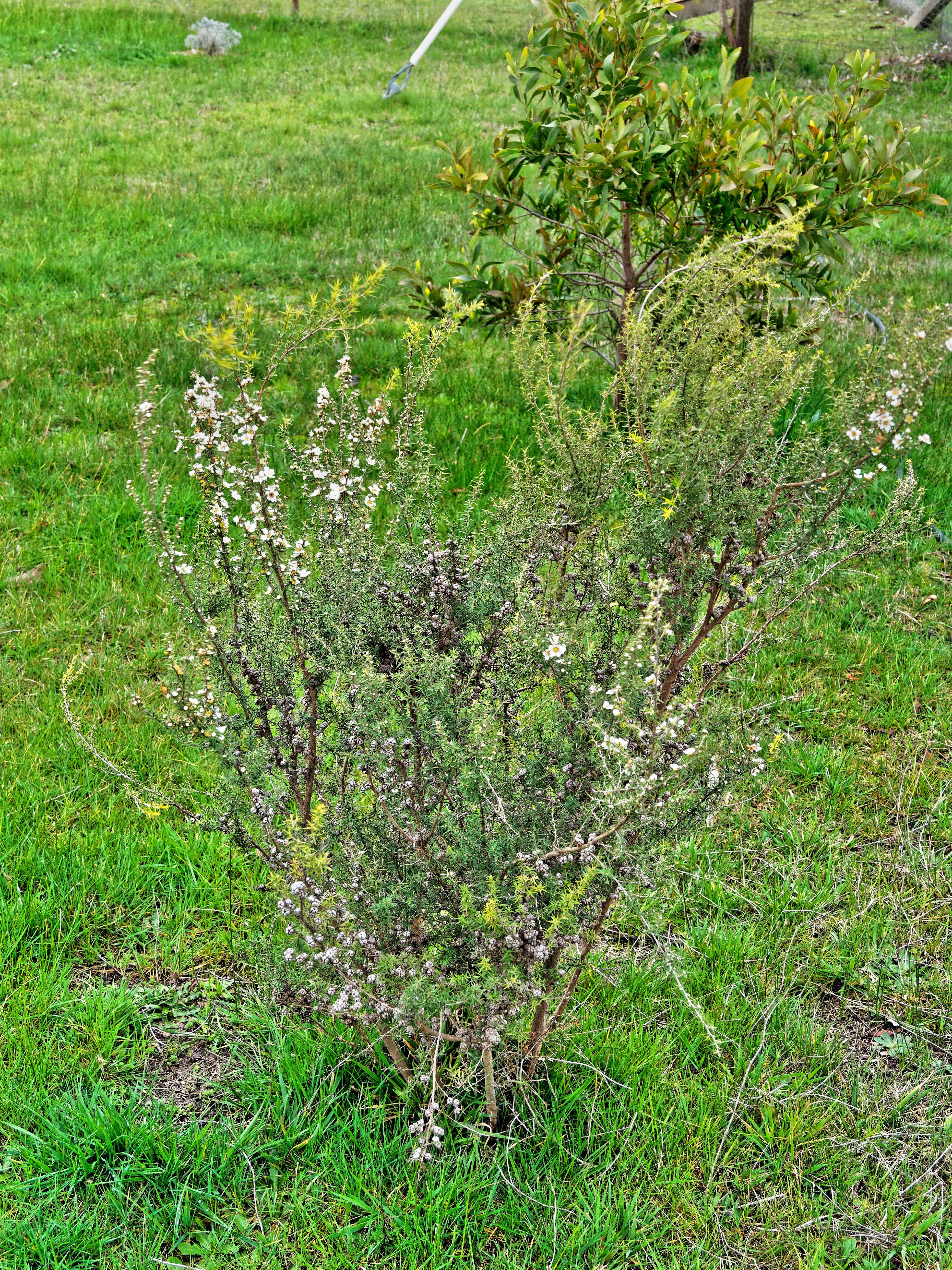 Leptospermum.jpeg