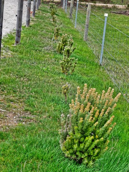 Adenanthos-sericeus-1.jpeg