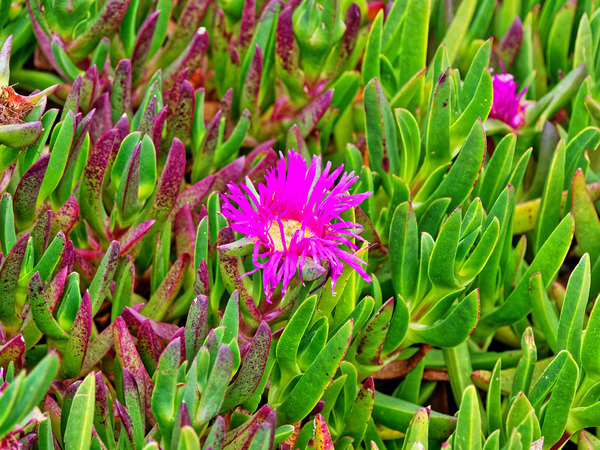 Carpobrotus-1.jpeg