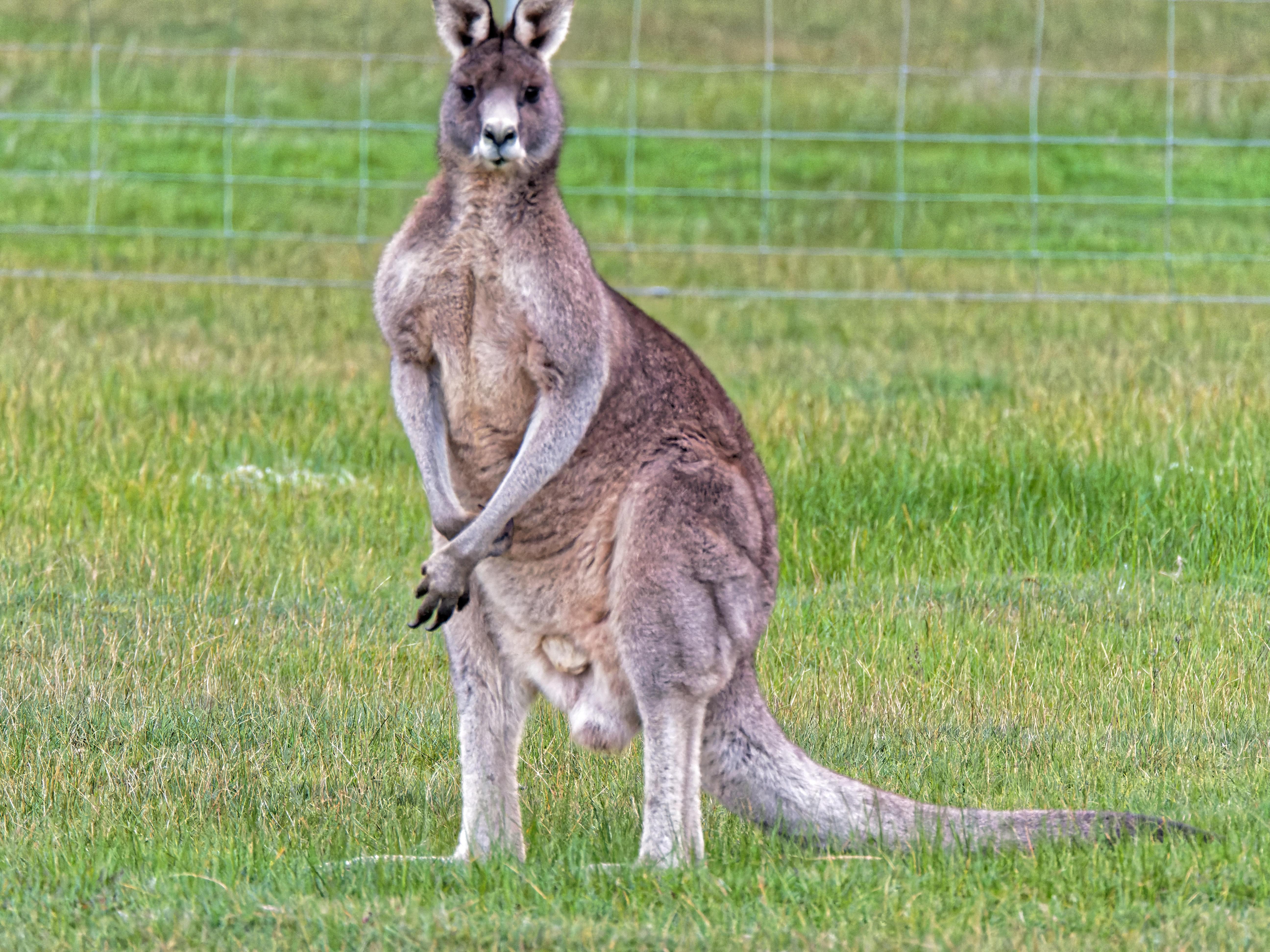 Kangaroos-11.jpeg
