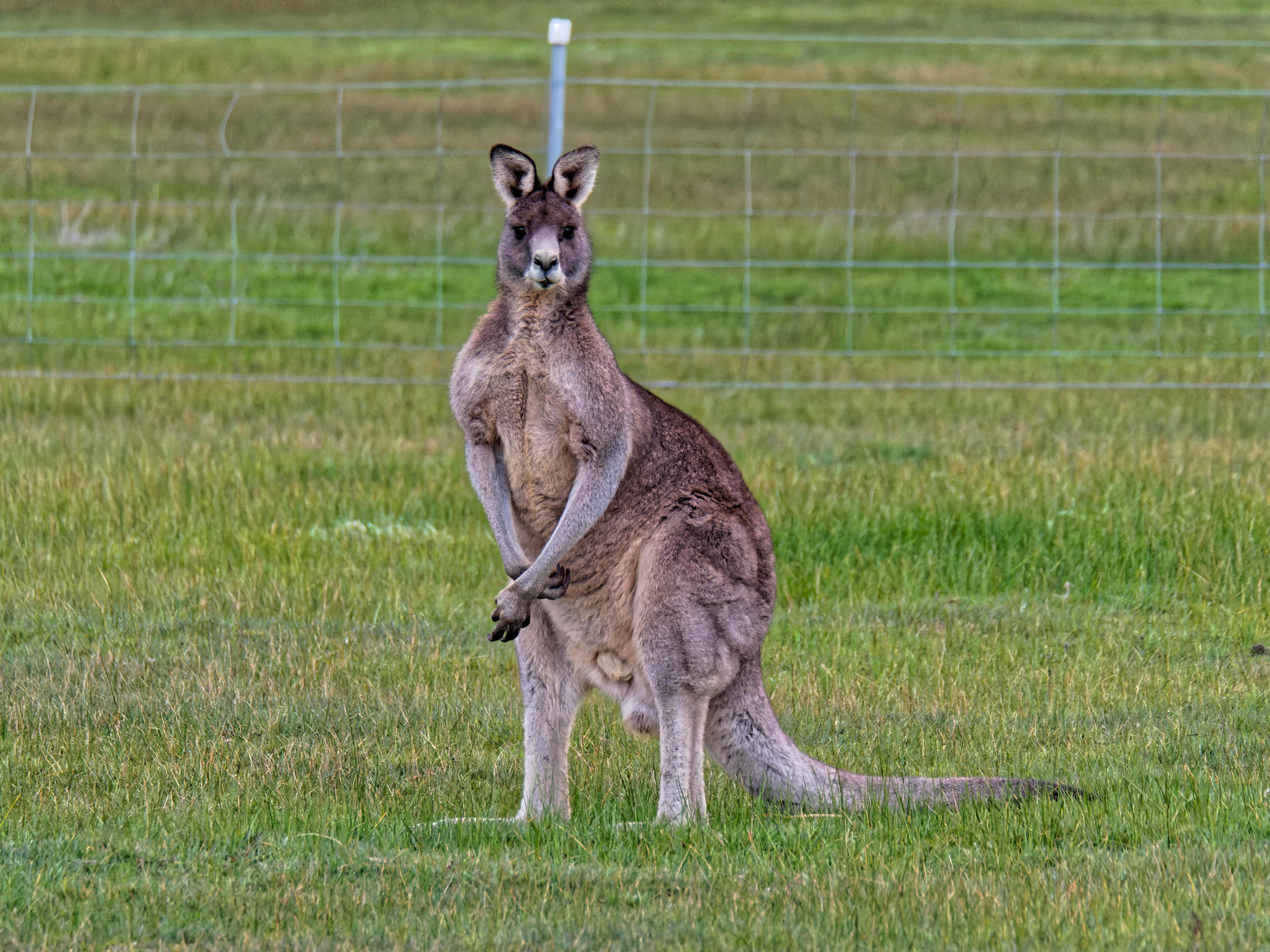 Kangaroos-12.jpeg