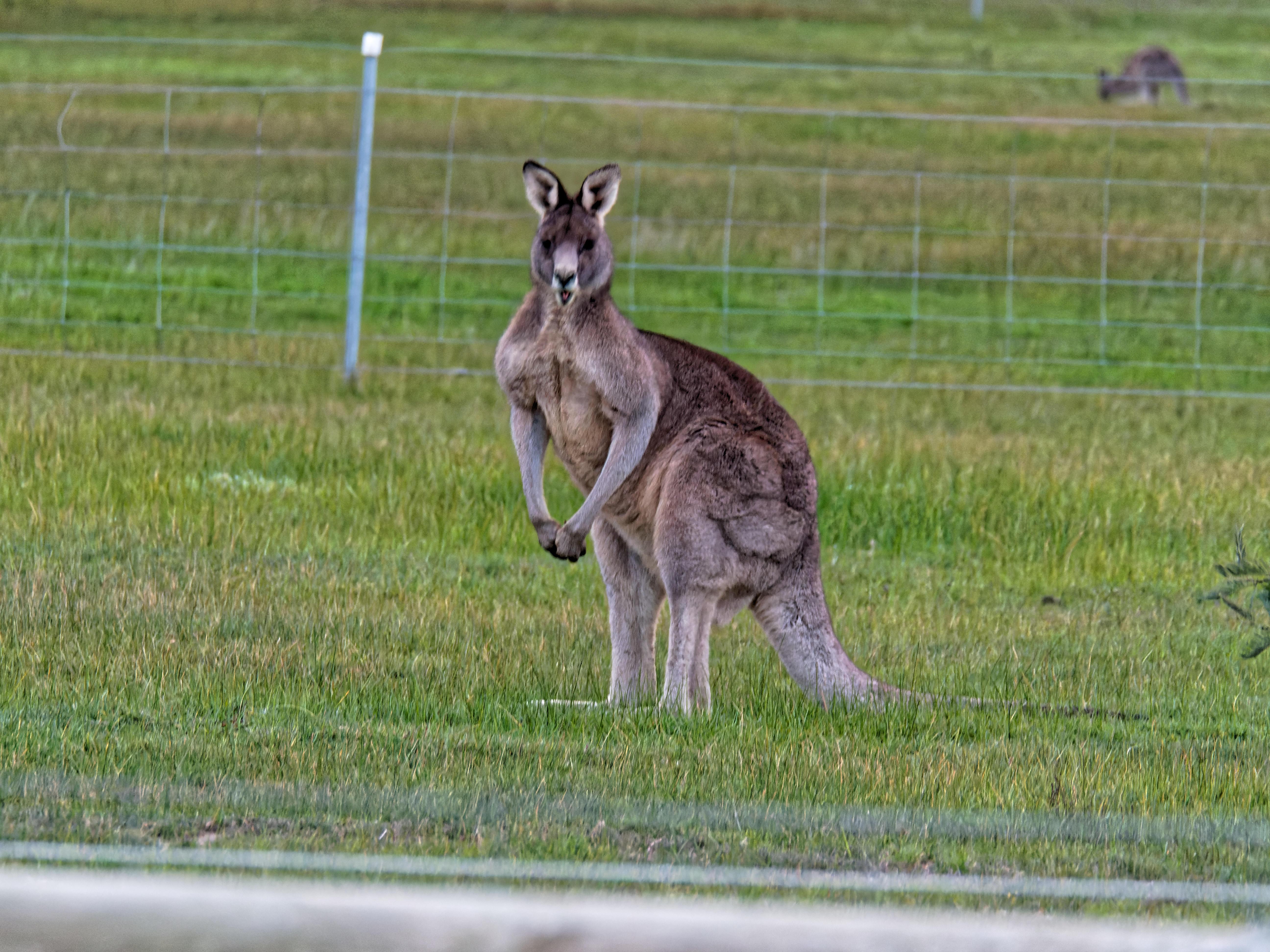 Kangaroos-5.jpeg