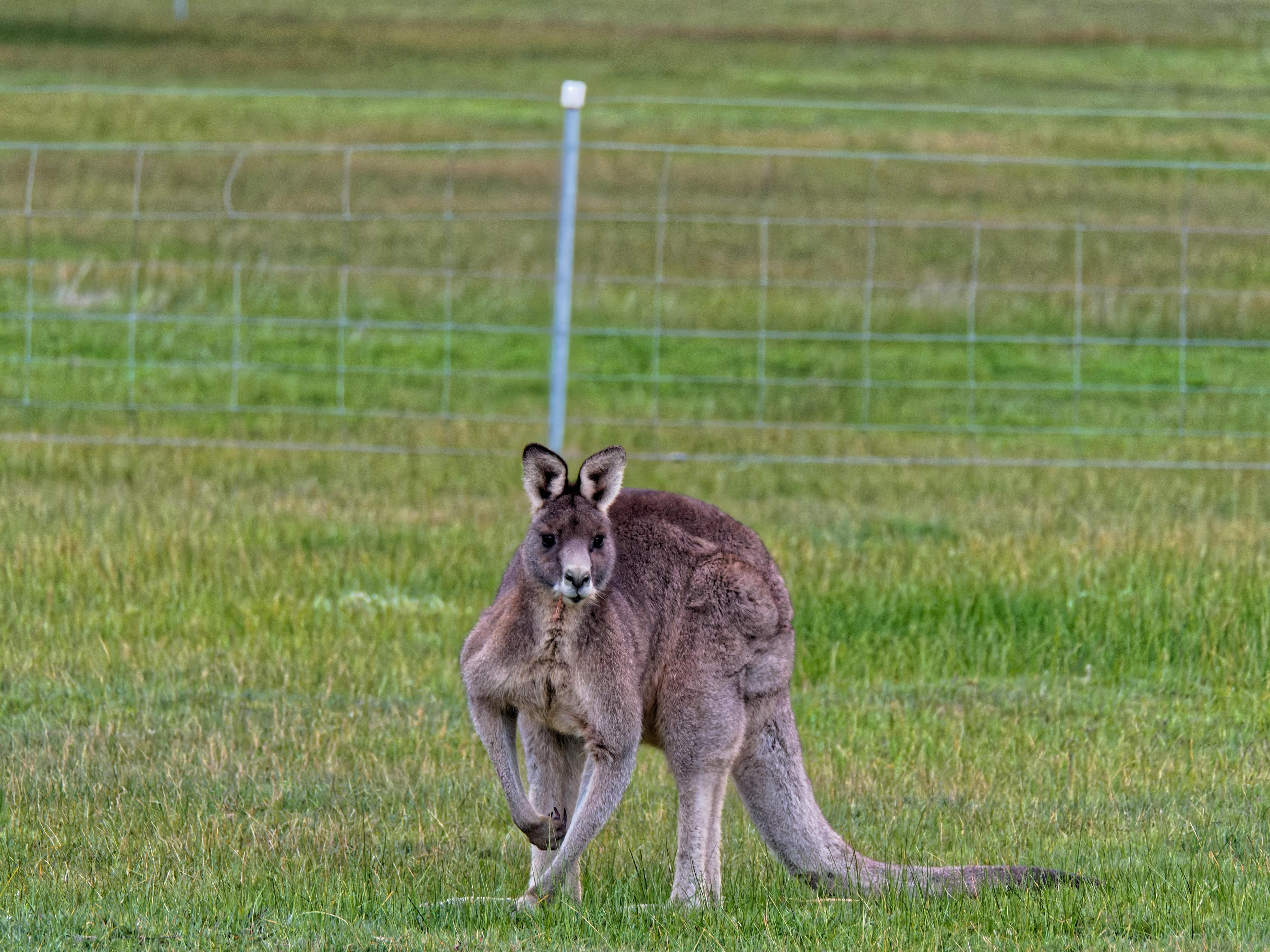 This should be Kangaroos-7.jpeg.  Is it missing?