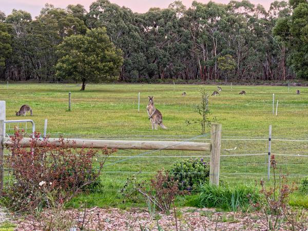 Kangaroos-4.jpeg